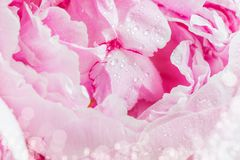 Close up of Fresh bunch of pink peonies on white background Stock Photography