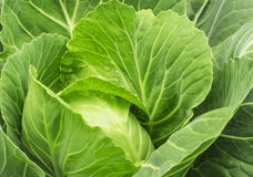 Close-up of fresh cabbage Royalty Free Stock Images