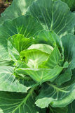 Close-up of fresh cabbage vegetable in field Stock Photos