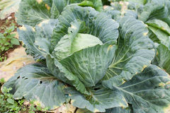 Close-up of fresh cabbage Royalty Free Stock Photo