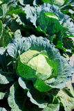 Close-up of fresh cabbage. Royalty Free Stock Photos