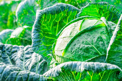 Close-up of fresh cabbage Royalty Free Stock Image