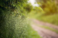 Close up of fresh cereals thick grass Royalty Free Stock Photos