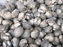 Close up of fresh cockle Stock Photos