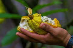 Close up of fresh Cocoa fruit in farmers hands. Organic cacao fruit - healthy food. Cut of raw cocoa inside of the. Amazon rainforest in Cuyabeno National Park Royalty Free Stock Photography