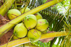 The close up of fresh coconut Stock Photo