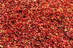 Close up of  fresh coffee beans stock photography