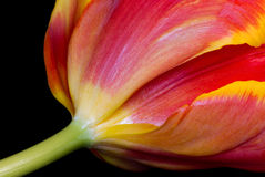 Tulip. Tulipa. Royalty Free Stock Photography