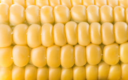 Close up of fresh corn ear Royalty Free Stock Images