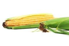 Close up of fresh corn ears. Royalty Free Stock Photos