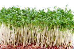 Close-up of fresh cress. On white background Royalty Free Stock Photos