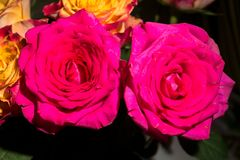 Close-up of fresh crimson roses. Image with romantic spirit. Festive rose bouquet is symbol of happiness and love. Original rich yellow and crimson color of royalty free stock photos