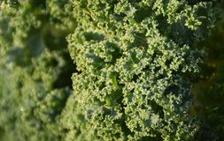 Fresh Curly kale with waterdrops. Close up of a fresh Curly kale with waterdrops on an early autumn morning royalty free stock photo