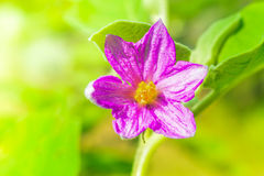 Close-up of fresh flower solanum, thai eggplant background in ga Stock Image