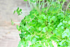 Close up of fresh garden cress Royalty Free Stock Image