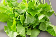 Close Up of Fresh Gotu Kola Plant Stock Photos