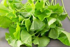 Close Up of Fresh Gotu Kola Plant Stock Photos