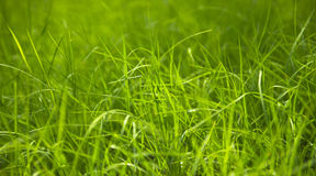 Close up of fresh grass Royalty Free Stock Photo