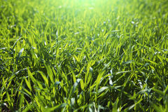 Close up fresh grass with water drops in the morning. Close up of fresh thick grass with water drops in the early morning Royalty Free Stock Photos