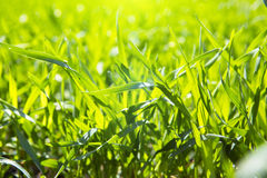 Close up fresh grass with water drops in the morning. Close up of fresh thick grass with water drops in the early morning Royalty Free Stock Photography