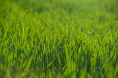 Close up of fresh grass with water drops Stock Photography