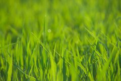 Close up of fresh grass with water drops Royalty Free Stock Photography