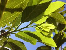 Fresh green Annona squamosa leaves in nature garden. Close up fresh green Annona squamosa leaves in nature garden Stock Photo