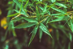 Fresh green bamboo leaves with water drops after rain. Close up fresh green bamboo leaves with water drops after rain royalty free stock images