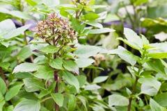 Close up Fresh green basil Royalty Free Stock Photo