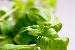 Close up of fresh green basil leaves Stock Images