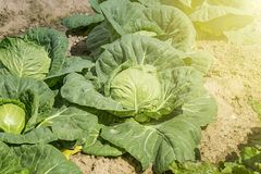 Close-up of fresh green cabbage in vegetable garden. Close-up of fresh green cabbage in the vegetable garden Royalty Free Stock Images