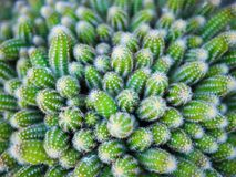 Close-up of fresh green cactus Royalty Free Stock Photo