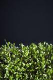 Fresh green cuckooflower plain background. royalty free stock photography
