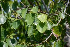 Ficus religiosa leaves in garden. Close up fresh green ficus religiosa leaves in garden Royalty Free Stock Photography