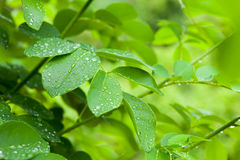 Close-up of fresh green foliage with water drops after rain. Closeup of fresh green leaves with water drops after rain. Beautiful tropical background Royalty Free Stock Photos