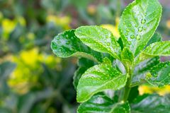Close-up of fresh green foliage with water drops after rain. stock images