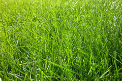 Close-up of Fresh Green Grass. Fresh green grass under the sunshine Royalty Free Stock Photo