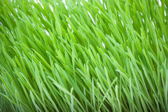 Close up of fresh green grass for cats Stock Photo