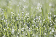 A close-up of fresh green grass covered with dew droplets Stock Photography