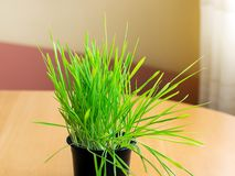 Close-up of fresh green grass or germinated oats for indoor cats in a black plastic pot on wooden table near the window. Natural. Hairball treatment for cats stock photography