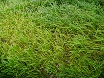 Close Up of Fresh Green Grass Reeds Stock Photos