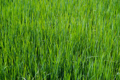 Close up on fresh green grass texture. Background Stock Photo