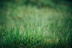 Close up of fresh green grass with water drops in the early morning in mountains with shallow focus. Spring blossom Royalty Free Stock Images