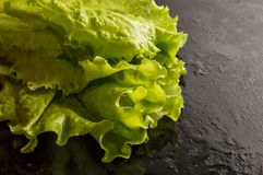 Close up. Fresh green healthy curly salad lettuce wetted with water drops. Black background. Copy space on the right royalty free stock images