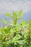 Fresh green hibiscus sabdariffa tree in nature garden. Close up fresh green hibiscus sabdariffa tree in nature garden Stock Photos
