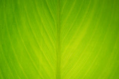 Close-up of fresh green leaf as background. Royalty Free Stock Photo