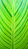 Close-up of fresh green leaf Royalty Free Stock Photo