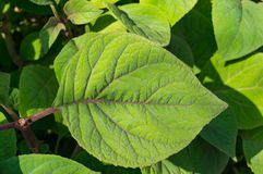 CLose up of fresh green leaf texture. Nature background royalty free stock photography