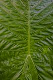 Close-up fresh green leaf tree. To nature line and texture background Royalty Free Stock Images