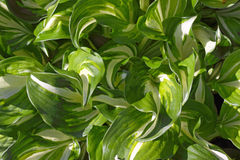 Close up  fresh green leaves. Royalty Free Stock Photos